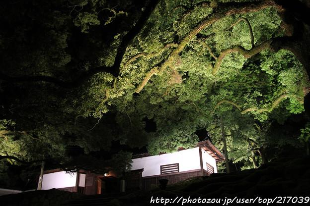 IMG_0337青蓮院門跡・長屋門と楠の木(天然記念物)