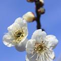写真: IMG_1887大阪城公園・梅林・白加賀
