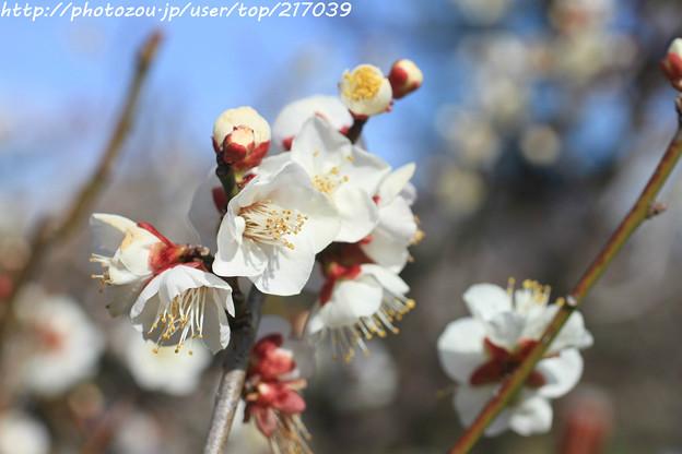 IMG_1898大阪城公園・梅林・一重野梅