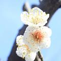 写真: IMG_1902大阪城公園・梅林・南高