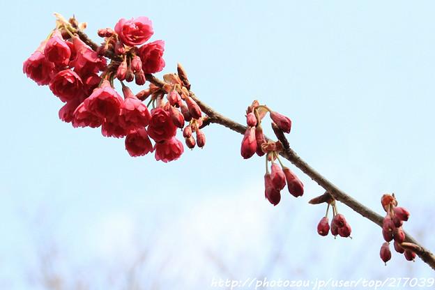 IMG_2490長徳寺・寒緋桜