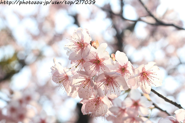 IMG_2589百万遍知恩寺・富士桜