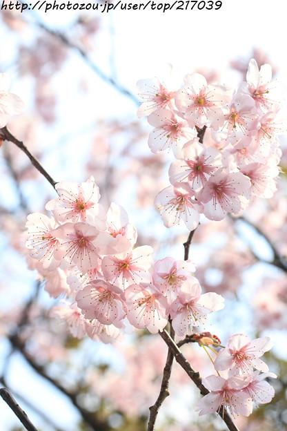 IMG_2596百万遍知恩寺・富士桜