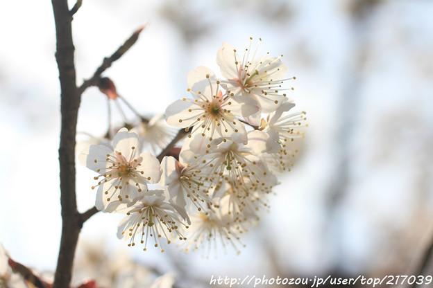 IMG_2652檀王法林寺・桃桜