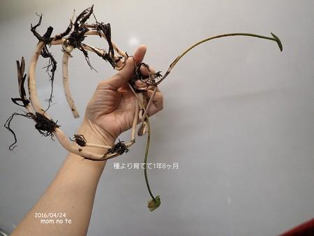 蓮を実生から育てる 植え替え P4240713