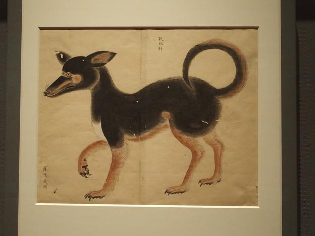 写真: 琉球狆 博物館写製図 P3051126