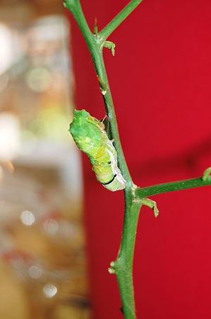 2011年09月10日_DSC_1163キアゲハの蛹化(脱皮の様子)