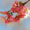 初冬に咲くサクラ1