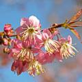 初冬に咲くサクラ2