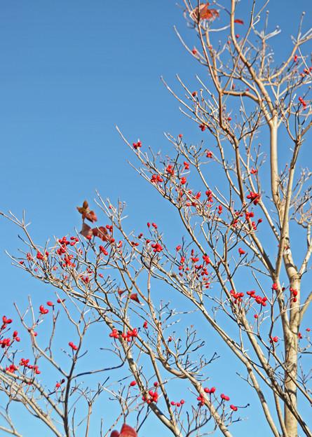秋照に映える赤い実4