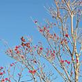 写真: 秋照に映える赤い実4
