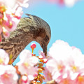 蜜を吸うヒヨドリ1
