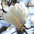 写真: 木蓮連咲3