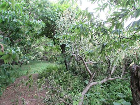 折れた栗の木
