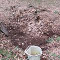 写真: 堆肥堀り