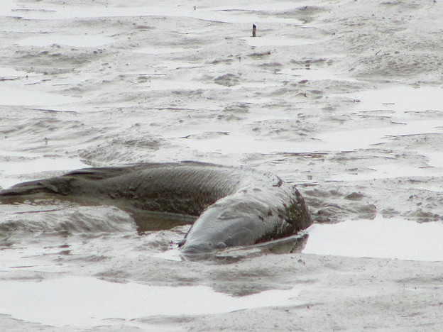 写真: 水抜きされた池の雷魚
