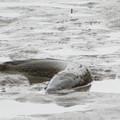 Photos: 水抜きされた池の雷魚