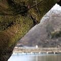 写真: 苔の大樹