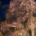 夜桜 般若院