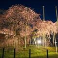 般若院 枝垂桜ライトアップ
