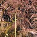 写真: 夜桜繚乱
