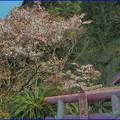 Photos: 弁財天の桜