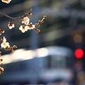写真: 梅が咲いてきました。