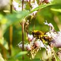フジバカマに集まる虫たち -キンケハラナガバチ-