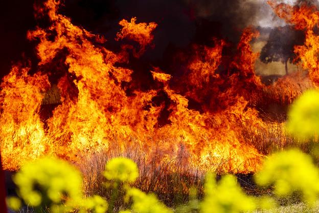 菜の花の炎
