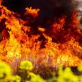 写真: 菜の花の炎