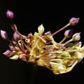 Photos: ニンニクの花
