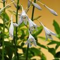 写真: 庭の花-2
