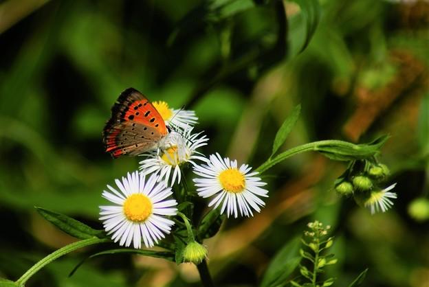 ノボロギクと蝶-1