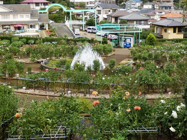 町田ダリア園