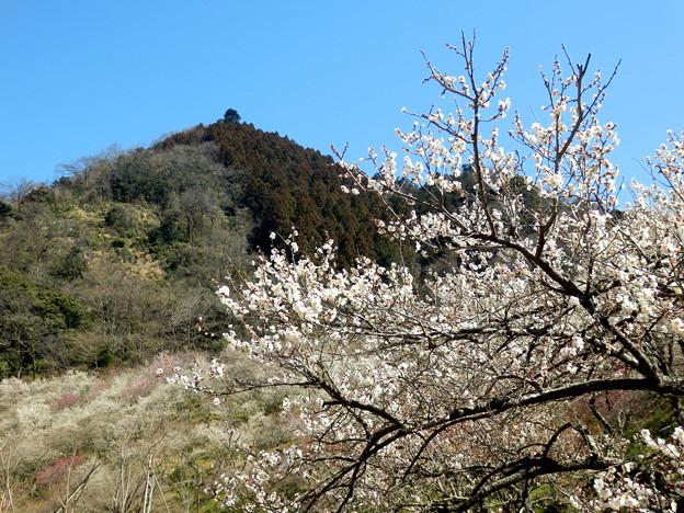 木下沢梅林の白い梅