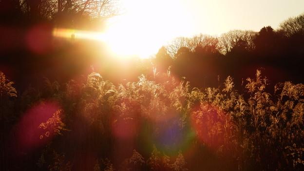 夕日に照らされるススキ