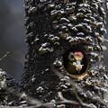 オオアカゲラの巣作り