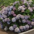 Photos: さくらの山公園の紫陽花 IMG_116775