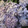 Photos: さくらの山公園の紫陽花 IMG_116776