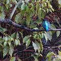 Photos: 青い背中のカワセミちゃん