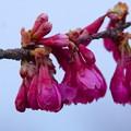 桜(大阪)