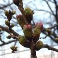 桜(大阪市内)