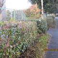 Photos: 長く続く垣根の中に立った一輪しか見えないのです