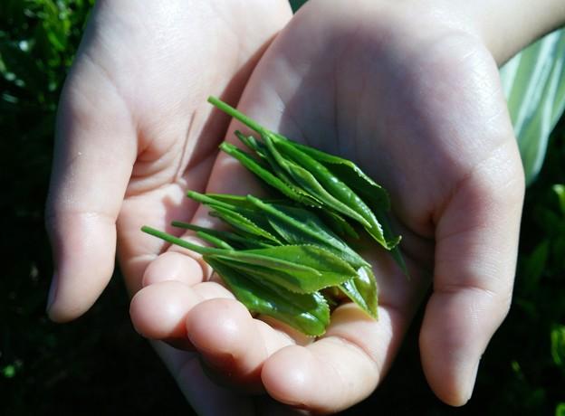 茶葉の新芽