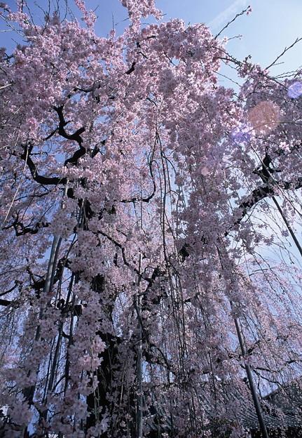 高楽寺の桜