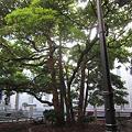 Photos: 玉楠(タマクス)の木