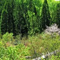 Photos: 写真00982 乳頭温泉への途中・水芭蕉の群生地で