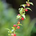 Photos: 庭梅の実 並んで赤く