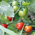 Photos: ミニトマト  赤く色づいてきました