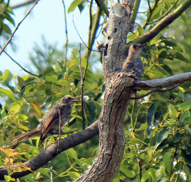 ヒヨドリの幼鳥さん2羽  (2)